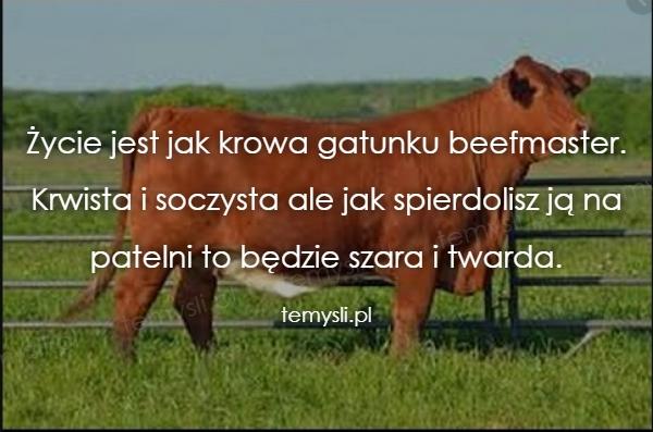 Życie jest jak krowa gatunku beefmaster.  Krwista i soczysta